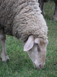 450px-German ewe grazing closeup