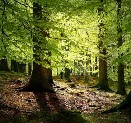 638px-Grib skov