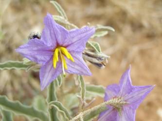 640px-Solanum elaeagnifolium