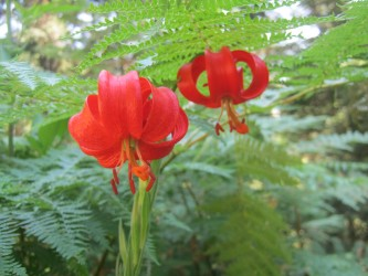 Lilium chalcedonicum