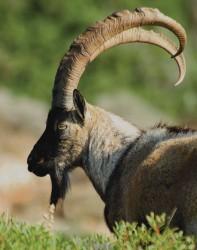 cretan wild_goat_l(1)