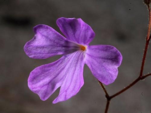 philcoxia-minensis