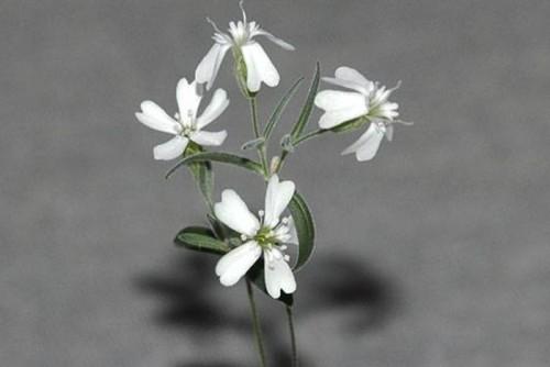 silenestenophylla