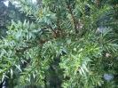 Juniperus drupacea Labill. (Άρκευθος δρυπώδης)