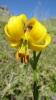 Lilium albanicum