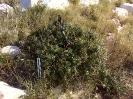 Quercus coccifera - Πουρνάρι