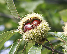 220px-Chestnuts