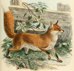 250px-Keulemans common fox